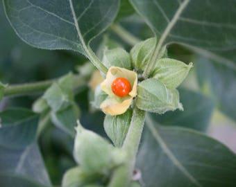 500 Withania Somnifera Seeds ,Ashwagandha Seeds, indian Ginseng Seeds,