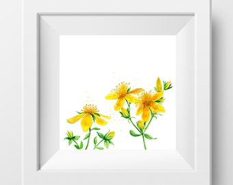 St. John's Wort watercolor