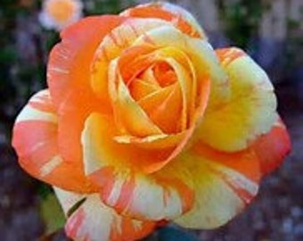 Grow Your Own Yellow Pink  Roses 20 Organic Rose Seeds