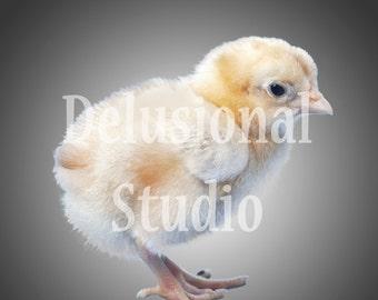 Baby Chick Overlay
