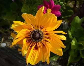 Photograph - Alaskan Sunflower