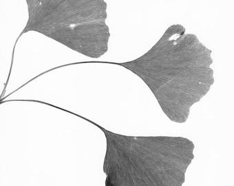 Gingko Leaves