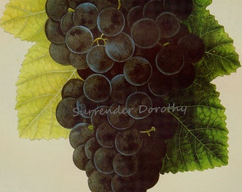 Concord Grape Prestele Vintage Agriculture Poster Print  Botanical Lithograph To Frame 244