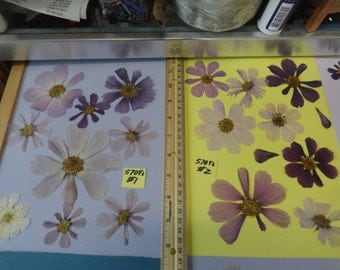Choose your Real Pressed Flower Cosmos Grown in Alaska 570 FL