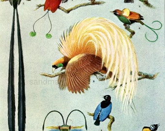 1927 Male Birds of Paradise H Gronvold Print to Frame