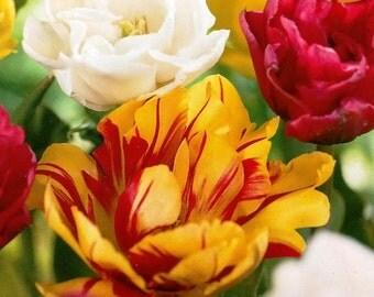 PRECHILLED TULIP BULBS Double Late Blend, Garden Gift, Nature Gift, Bulb  Favor,