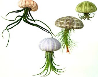 Air Plant Terrarium Mobile Kit - 4 Tillandsia Air Plants + 4 Sea Urchin Shell + Gift Box * Genuine Sea Shell Planters. Air planter holder