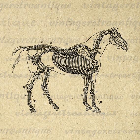 printable image horse skeleton diagram download graphic. Black Bedroom Furniture Sets. Home Design Ideas