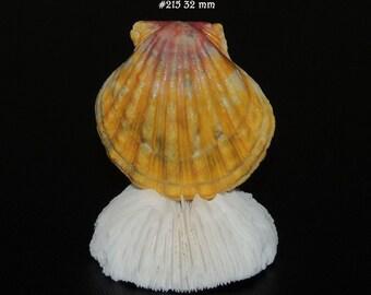 32 mm Hawaiian Sunrise shells/ShellsHawaii #215