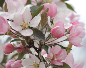Flower Photograph - Crab Apple Flowering Tree - Soft Pink Flower - Spring Flower - Floral Wall Decor - Nature Photograph
