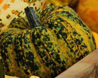 Kumi Kumi Marrow Pumpkin Squash  8+ seeds, New Zealand heirloom