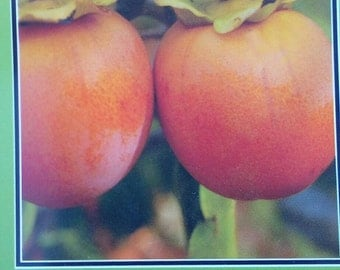 4'-5' Hachiya Persimmon Fruit Tree Plant Live Trees Grow Your Own Fresh Persimmons Home Garden Orchard Plants Shipped Nationwide Now