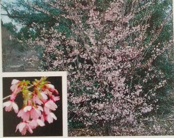 Okame Flowering Cherry Tree 5 gallon Live Healthy Beautiful Home Garden Plants Trees Landscape Flower Plant Landscaping Gardens Easy to grow