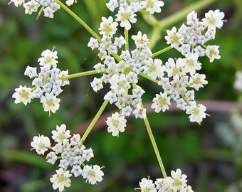 H) CARAWAY~Seeds!~~~~~~~~~For Breads & Kraut!