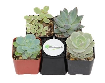 Shop Succulents Premium Pastel Succulent Collection