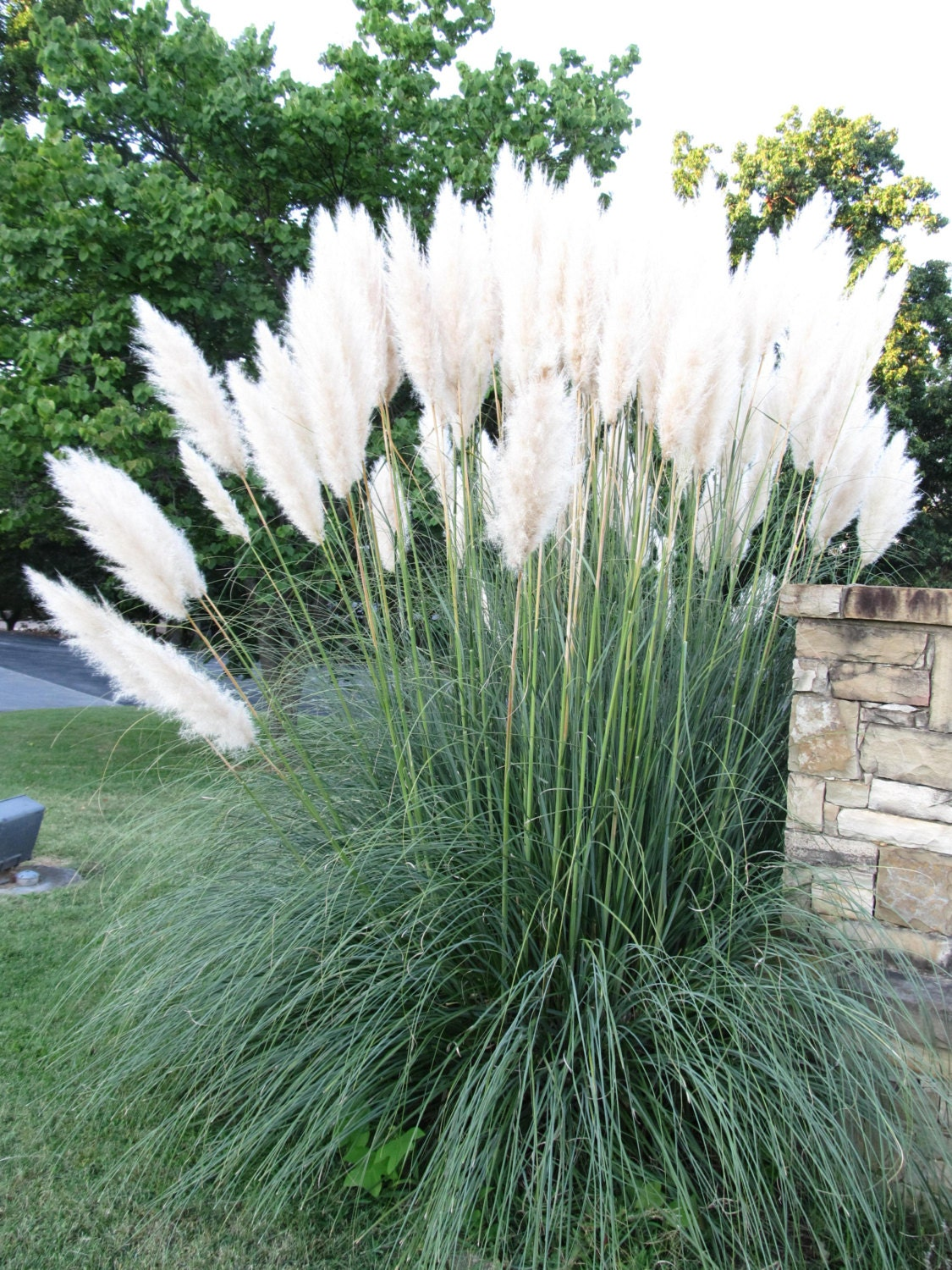 Dwarf white pampas grass seeds 50 count great smaller for Landscaping ideas with pampas grass