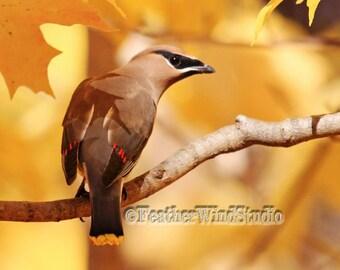 Cedar Waxwing Photo | Fall Wildlife | Gold Wall Art | Autumn Songbird Picture | Feather Wind Studio | Michigan Bird Decor | Wax Wing Print