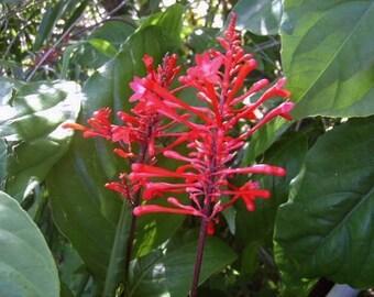 Emeralds TM Firespike Plant Winter Bloomer Florida Native Bright Red Flower Spikes 4 Inch Pot
