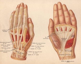 1905 hand muscles, tendons & ligaments print - Human anatomy, physiology, medical wall decor - 112 yr old victorian illustration (C586)