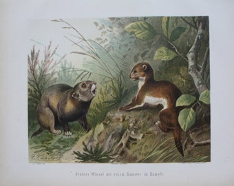 antique print weasel in fight with hamster 1897