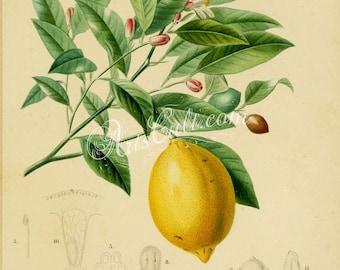 fruits-01485 - Lemon Citrus limonium Lemon tree Citrus limon vintage old botanical illustration picture image clipart branch leaves yellow