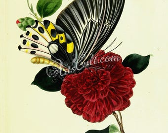 butterflies-11122 - ornithoptera remus, Troides hypolitus, the Rippon's birdwing, butterfly sitting on rose flower vintage printable image