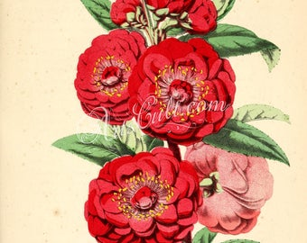 flowers-30170 - amygdalus persica camelliaflora, blooming Peach flower plant red plant illustration vintage book page graphics ornamental