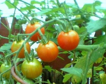 Homegrown Organic Cherry Tomatoes - Free Shipping