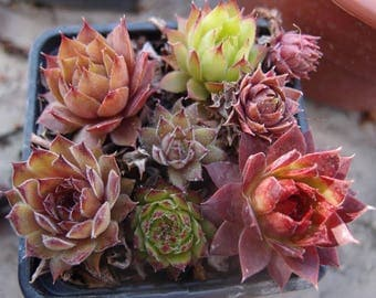 A set of sempervivum plants