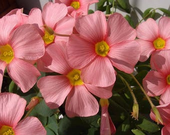 "Oxalis obtusa ""Spring Charm Pink"" 1 bulb"