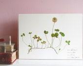 White clover print - Botanical illustration - White flower print - Pressed flower print - Nature lover gift