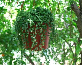"String of Pearls - Senecio rowleyanus - 6"" Hanging Basket"