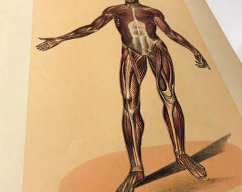ANTIQUE unique medical bookplate Muscular System Front View human anatomy illustration print man quirky art orange yellow brown body art