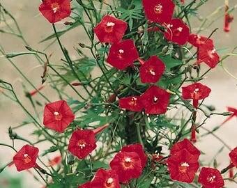 30 CARDINAL CLIMBER VINE Red Flower Seeds Ipomea Quamoclit *Comb S/H