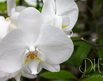 White Orchids - Nature Photography - Flowers - Digital - HD