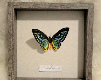 Vegan butterfly specimen wall art Shadowbox wall art  Blue green yellow orange Parthenos cyaneus