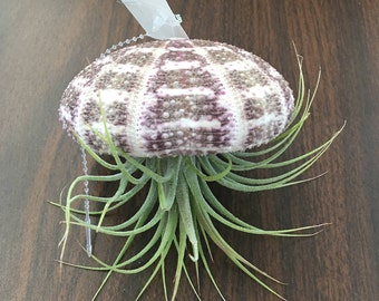 Hanging Air plant in Purple Urchin