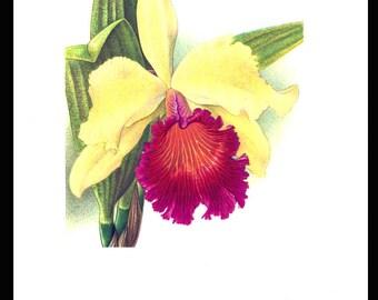 Orchids Flower Print Botany Art Illustration Vintage Botanical Art 1961 Home Decor Wall Decor Plate 13 Cattleya Dowiana Wall Art