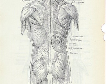 Human Anatomy Vintage Medical Anatomy Illustration, Muscles of the Posterior Trunk & the Reverse Side of the Page Upper Extremity PSS 0092