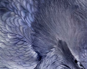 Raven Eye With Feathers Close Up Detail - Signed Fine Art Square Photograpic Print by June Hunter, Ready to Frame