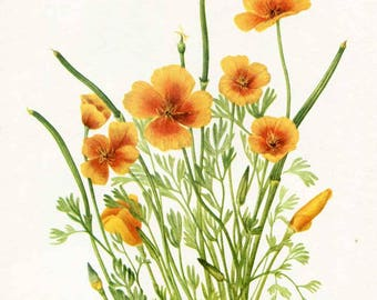 Vintage 1953 Mexican Poppy Botanical, Floral Print for Framing, American Wildflower