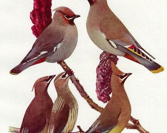 Bohemian & Cedar Waxwings by Louis Agassiz Fuertes, Vintage 8x11 Color Book Art Bird Print c1930s, FREE SHIPPING