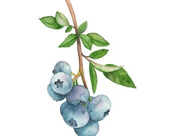 Blueberries print, Blueberries watercolour, blueberries painting, garden wall art print, kitchen wall art print, 5 by 7 size. BB15816