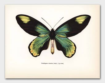"Monarch Butterfly Art (Office Decor for Women, Natural Art) Vintage Green Butterfly Print --- ""Queen Victoria Birdwing"" No. 48-1"
