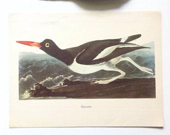 "Vintage John James Audubon Bird Print / Oystercatcher / Vintage Natural Science Home Decor / Art Illustration / Great for Framing / 9"" x 12"""
