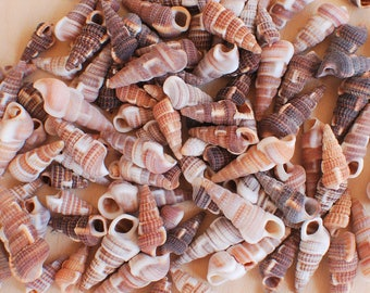 "Brown Cerithium Shells - Sized 1-1.5"" - Small Spindle Conch"