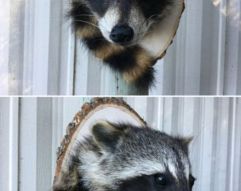 Raccoon Shoulder Mount - Real Taxidermy