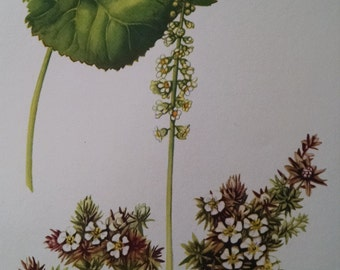 Galax & Pyxie, antique botanical litho print, 1954