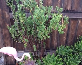 Glorious Succulents Crassula Tetragona  also known as Miniature Pine Tree Succulent