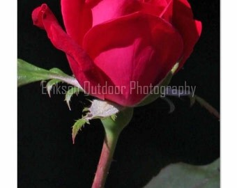 Nature photo notecard, Red Rose, photo card, Greeting Card, Stationery, Archival